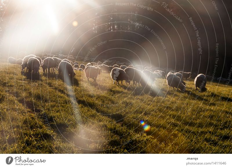 Sheep in Space Nature Beautiful weather Meadow Animal Farm animal Group of animals Herd Moody Colour photo Exterior shot Deserted Copy Space bottom Evening