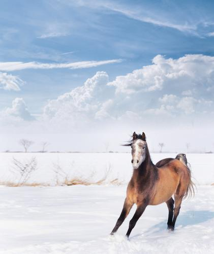 Playful little horse in winter snow Winter Nature Beautiful weather Animal Horse 1 Emotions Joy Power Action Stable Arabien Thoroughbred Snow Sky Comical