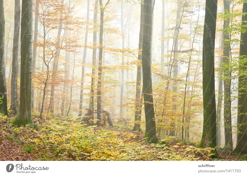 Autumn leaves Nature Fog Tree Bushes Leaf Forest Yellow Green Automn wood Tree trunk Cloud forest Exterior shot Deserted