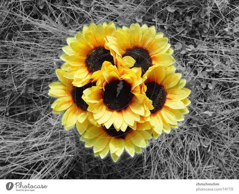 Sunflower(s) Grass Yellow Spring