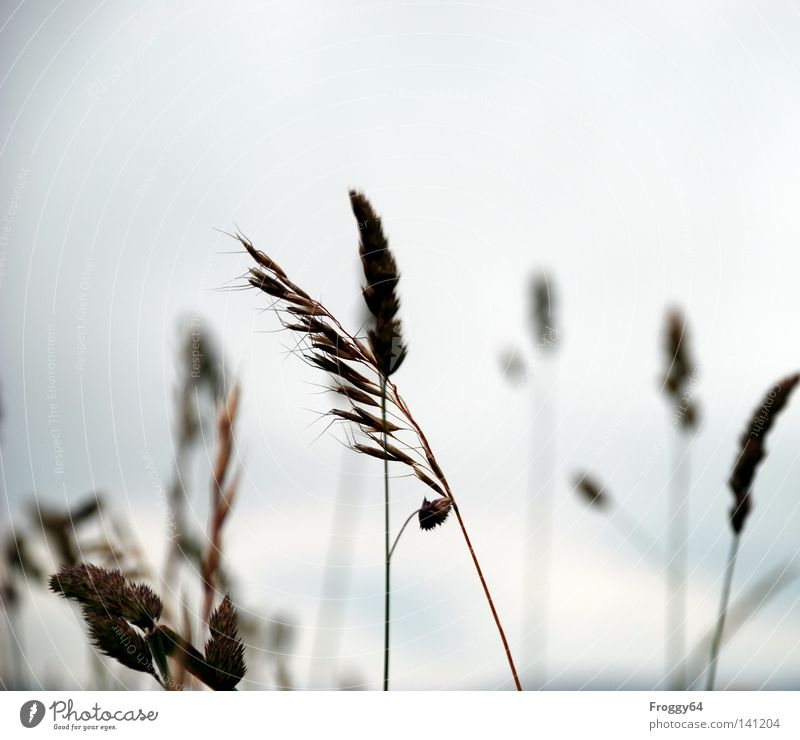 Sky Summer Relaxation Clouds Blossom Meadow Grass Wind Walking Break Stalk Seed Ear of corn Grain Habitat Whisper