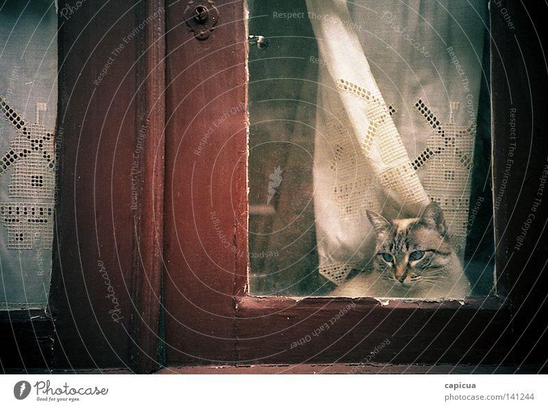 Cats & Windows... Curtain Pet Mammal Nostalgia Gaze Film industry lomo 35mm