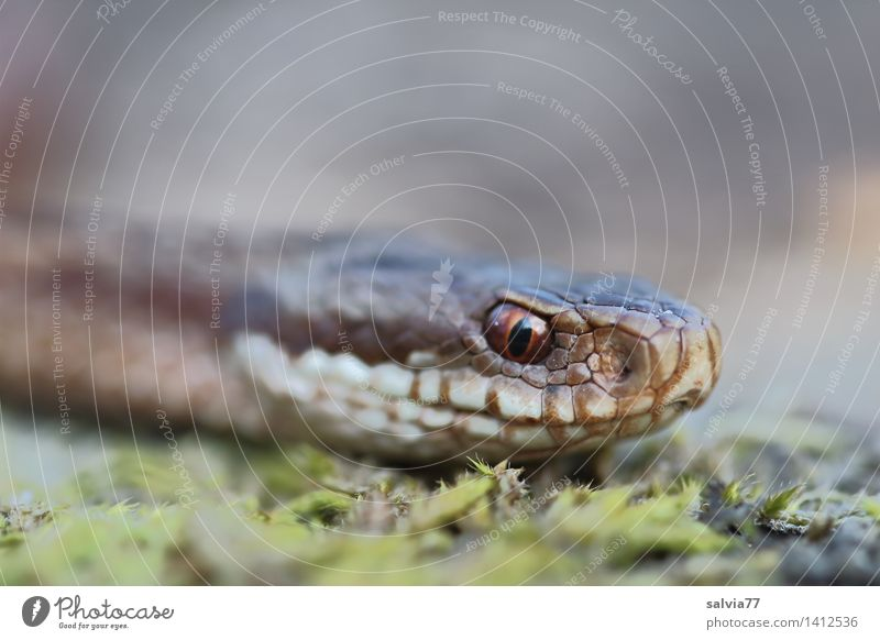 snake's eye Environment Nature Animal Earth Forest Wild animal Snake Animal face Scales Adder Viper 1 Threat Brown Gray Green Watchfulness Perspective Timidity