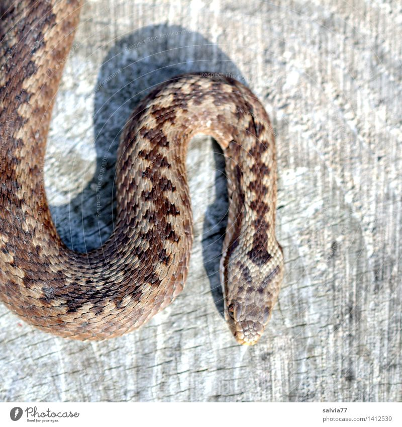 serrated pattern Nature Animal Snake Scales Adder Viper 1 Thin Brown Gray Attentive Watchfulness Esthetic Threat Crawl Creep Timidity Pattern Reptiles Dangerous