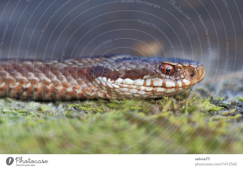 Silent Nature Animal Earth Moss Forest Bog Marsh Snake Animal face Scales Adder Reptiles 1 Observe Threat Astute Brown Gray Green Watchfulness Senses Target