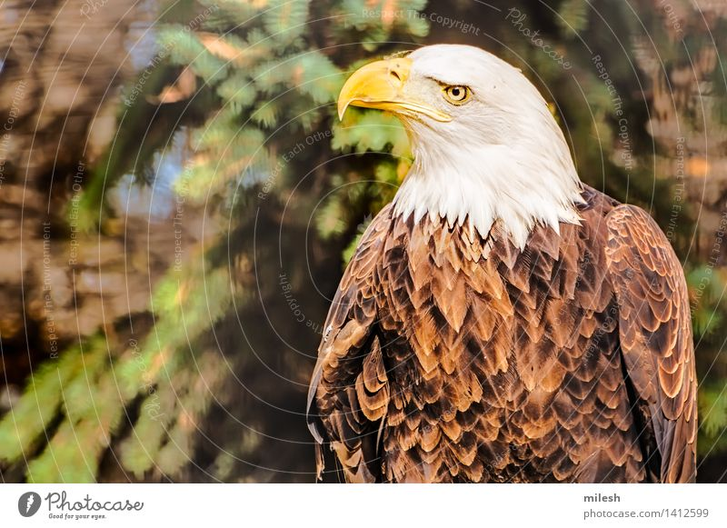 Bald Eagle Watching Surroundings White Animal Yellow Brown Bird Wild Free Power Feather Symbols and metaphors Beauty Photography Strong Beak American Hunter
