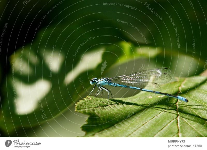 The dragonfly wonders where the moose shadow comes from... Common Blue Damselfly  Horseshoe Dragonfly Wing Elk Leaf Shadow Shadow play Silhouette Green Black
