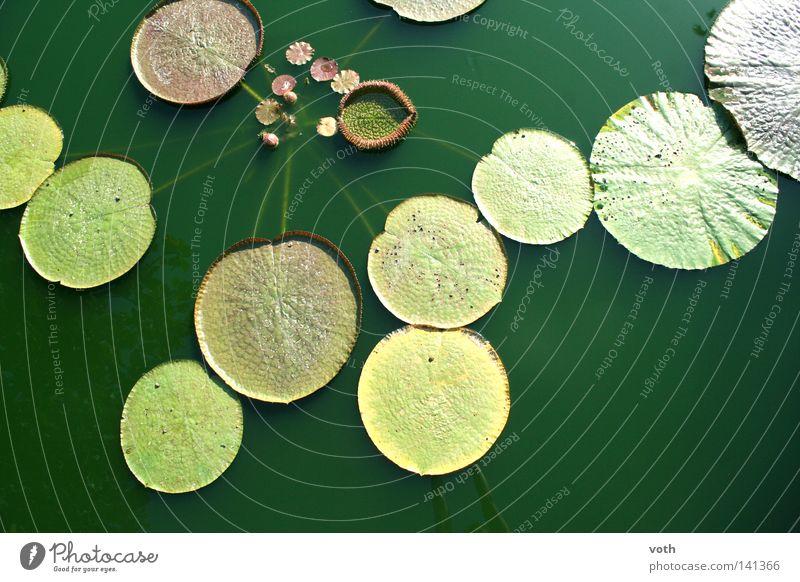 pond Biological Water Pond Plant Flower Nature Green Leaf Organic produce