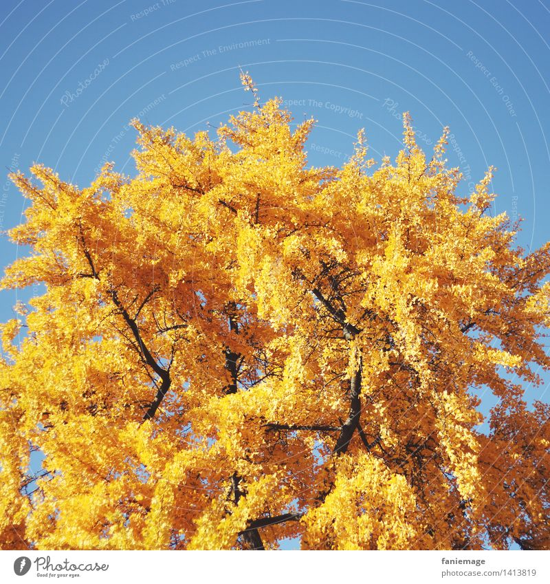 golden ginkgo Nature Cloudless sky Autumn Beautiful weather Tree Park Ginko Gold Yellow Autumnal Illuminate Deep yellow Bright yellow Square Warmth
