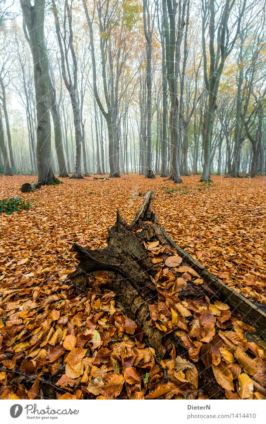 foliage Autumn Fog Tree Forest Coast Baltic Sea Brown Gold Green Ghost forest Mecklenburg-Western Pomerania Nienhagen Leaf Root Colour photo Multicoloured