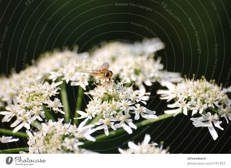 White Flower Blossom Insect Bee Wasps Poisonous plant