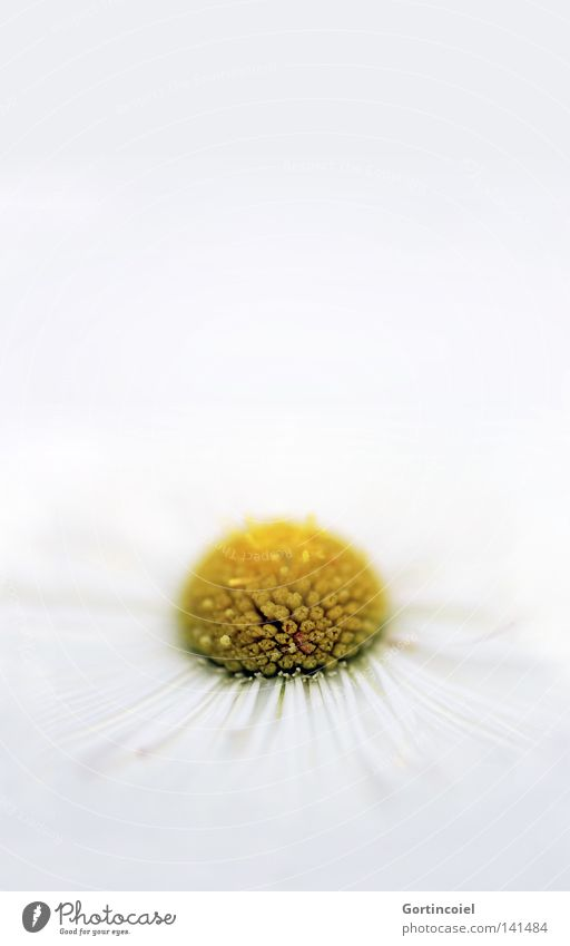 White Summer Plant Flower Relaxation Yellow Spring Blossom Style Bright Decoration Wellness Pure Well-being Daisy Harmonious