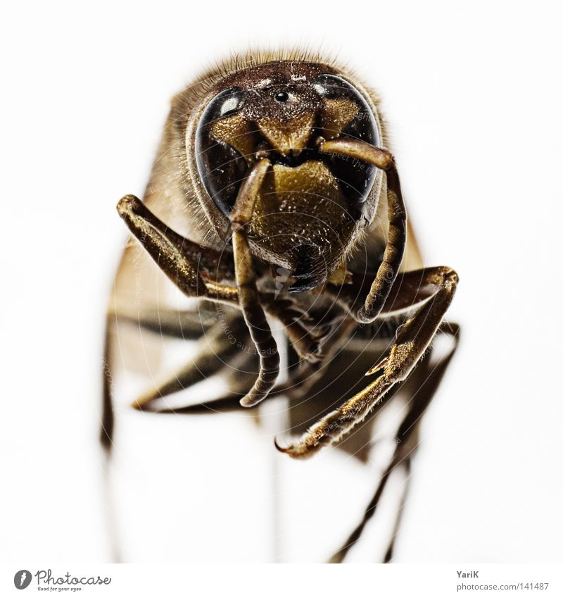 White Eyes Small Brown Dangerous Animal face Thin Near Insect Depth of field Bizarre Crawl Feeler Wasps Hornet Unfamiliar