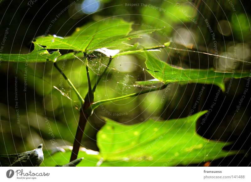 Green Summer Leaf Happy Dream Peace Smooth Spider Maple tree Spider's web Peaceful