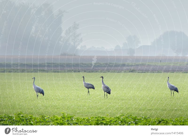 Helgiland II Cranes! Environment Nature Landscape Plant Animal Autumn Fog Grass Foliage plant Agricultural crop Meadow Field Wild animal Bird 4 Group of animals