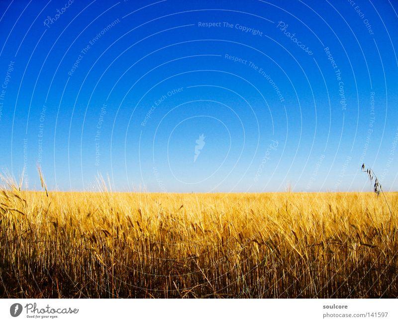 horizon Cornfield Grain Field Horizon Agriculture Colour Spain Yellow Blue Sky