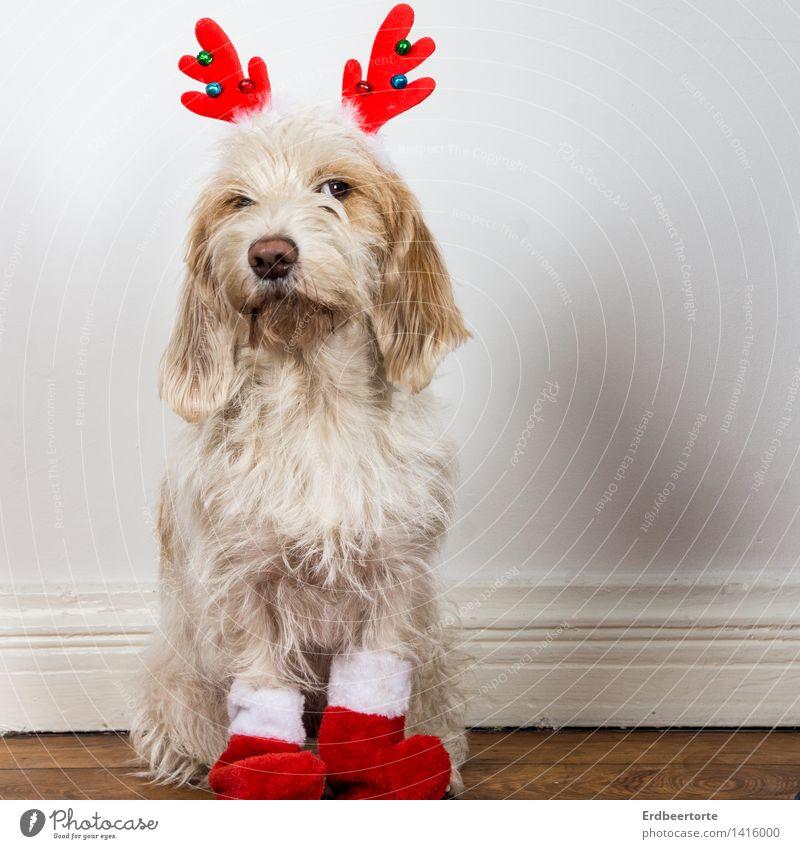 Dog Animal Sit Wait Observe Cute Curiosity Watchfulness Pet Anticipation Brash Costume Carnival costume Skeptical Reindeer