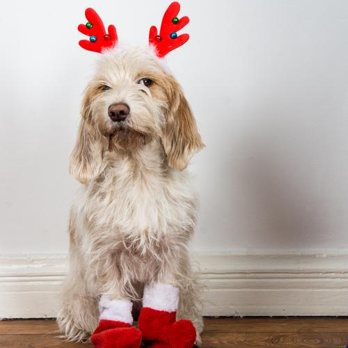 How's that? You're supposed to be Santa Claus? Animal Pet Dog 1 Observe Sit Wait Brash Curiosity Cute Anticipation Watchfulness Skeptical Christmas Reindeer