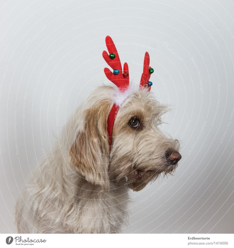 I was really always GAANNNZ good! Animal Pet Dog 1 Looking Cute Shame Remorse Reindeer Costume Carnival costume Christmas & Advent Colour photo Subdued colour