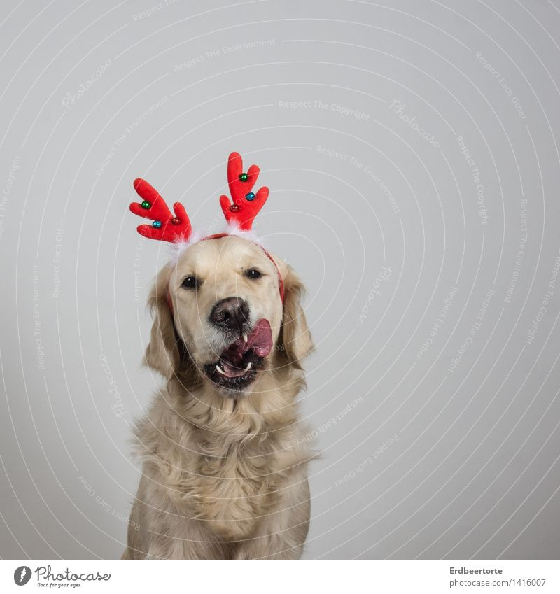 anticipation Animal Pet Dog Animal face Pelt 1 To feed Beautiful Funny Joy Anticipation Christmas & Advent Reindeer Antlers Golden Retriever Costume cladding