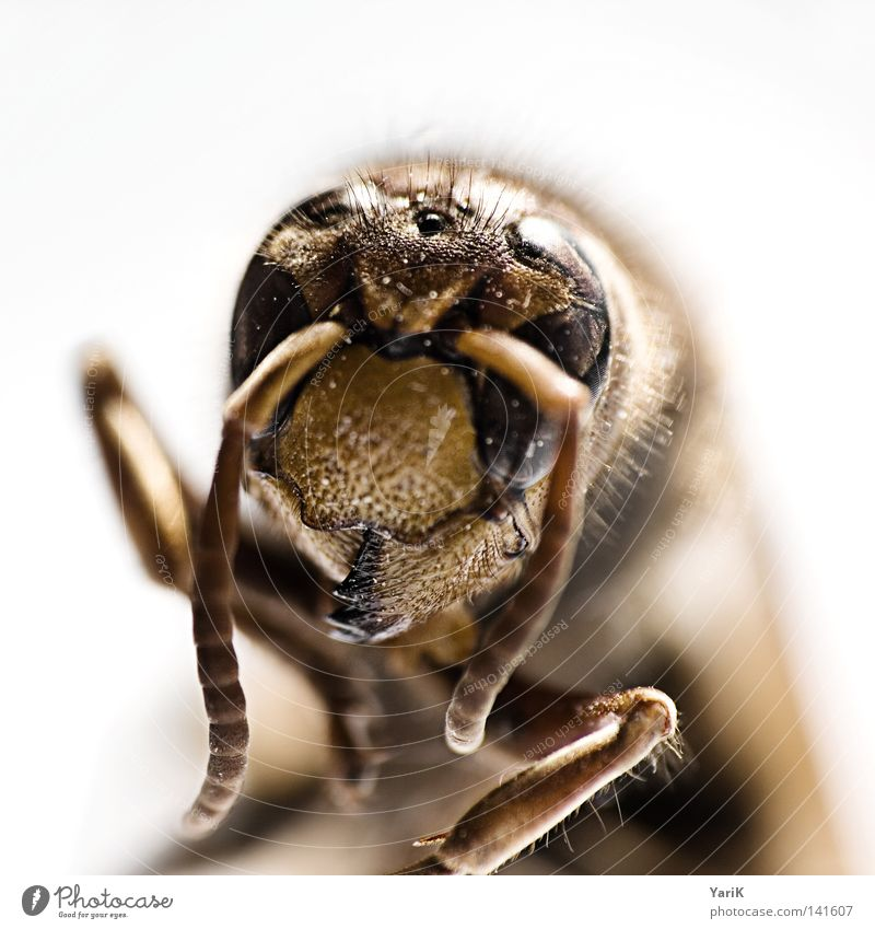 White Eyes Small Legs Brown Dangerous Threat Animal face Thin Near Insect Depth of field Bizarre Crawl Feeler Wasps