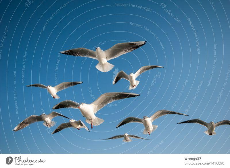 formation flight Animal Wild animal Bird Seagull Gull birds Group of animals Flock Flying Esthetic Elegant Near Maritime Beautiful Blue Gray White Sea bird Sky