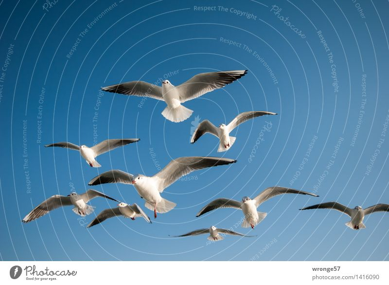Sky Blue Beautiful White Animal Gray Flying Bird Elegant Wild animal Esthetic Group of animals Near Cloudless sky Seagull Flock