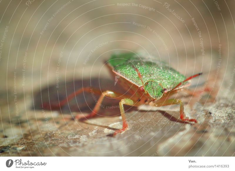 On the wall, on the lookout... Nature Animal Insect Bug 1 Small Brown Green Stone Beetle Colour photo Multicoloured Exterior shot Close-up