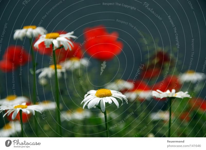 Flower Red Summer Joy Blossom Grass Poppy Beautiful weather Flower meadow Gardening Marguerite