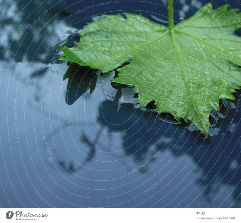 green vine leaf lies in a puddle of water after the rain Rain Water Wet Thunder and lightning Thundery shower Leaf Vine leaf Vessel To fall Lie Drops of water