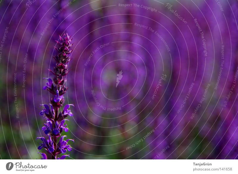 The colour purple Violet Sage Healthy Pleasant Wellness Bushes Blur Field Seed Bud Fragrance Beautiful Summer Plant Blossoming Colour Flower Medicinal plant