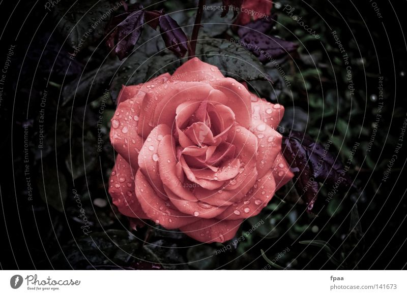 Nature Plant Beautiful Flower Relaxation Eroticism Red Leaf Blossom Emotions Moody Pink Rain Birthday Drops of water Wet