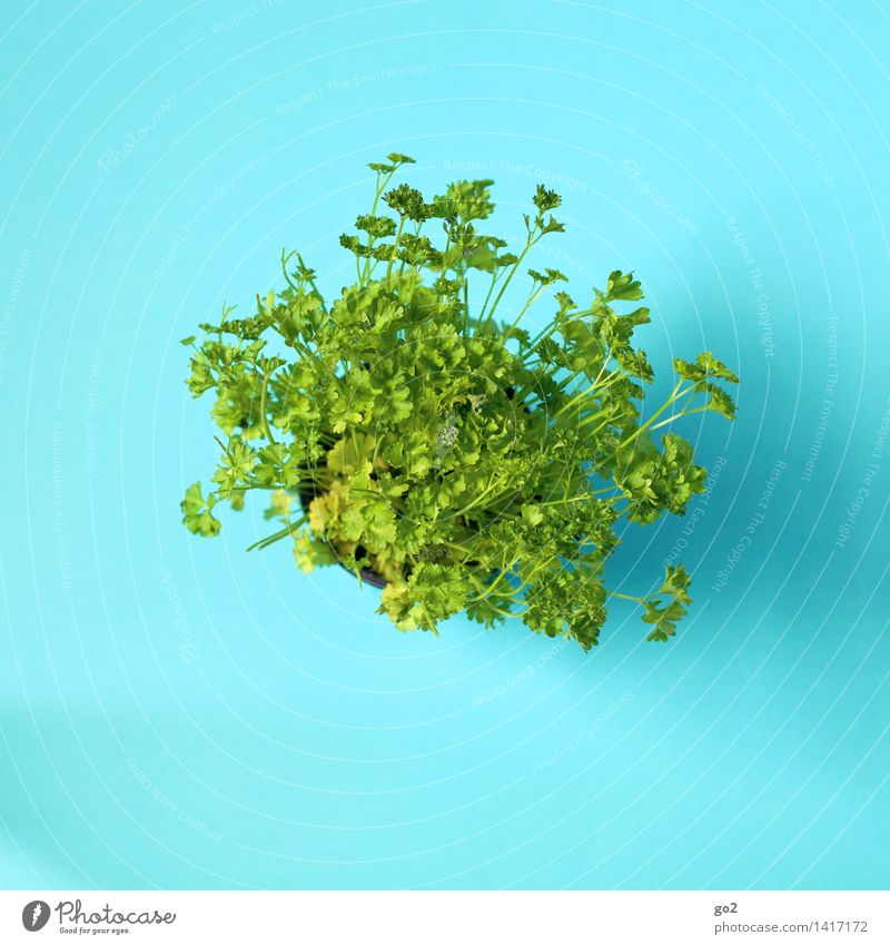 parsley Food Herbs and spices Parsley Nutrition Eating Organic produce Vegetarian diet Diet Fasting Healthy Eating Esthetic Blue Green Colour photo