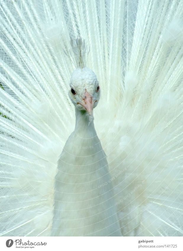 PfrauFau Subdued colour Close-up Deserted Animal portrait Looking Forward Luxury Elegant Beautiful Communion Bride Feather headdress Bird Wing Peacock