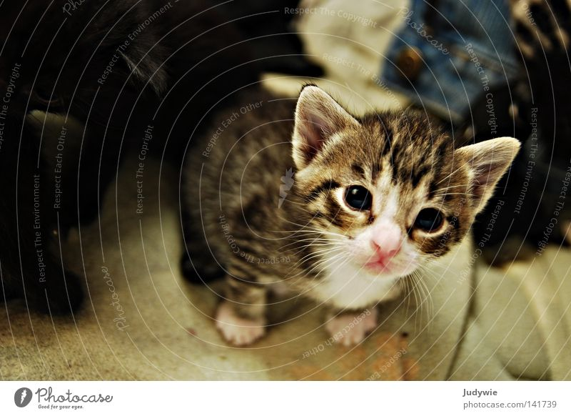 Cat Blue Eyes Small Baby animal Infancy Fear Pink Nose Sweet Cute Trust Mammal Panic Domestic cat Innocent