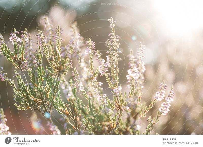 Sunny instead of black Friday Nature Landscape Plant Sunlight Summer Autumn Climate Weather Beautiful weather Bushes Heather family Mountain heather Garden Park