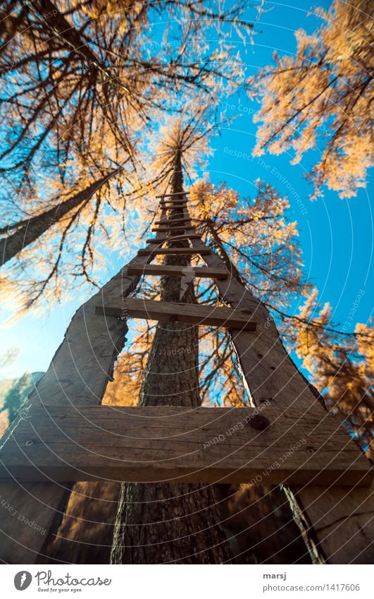 STEEPLY UPWARDS Cloudless sky Autumn Beautiful weather Plant Larch Tree Rung Ladder Wood Exceptional Multicoloured Upward Wooden ladder Autumnal colours