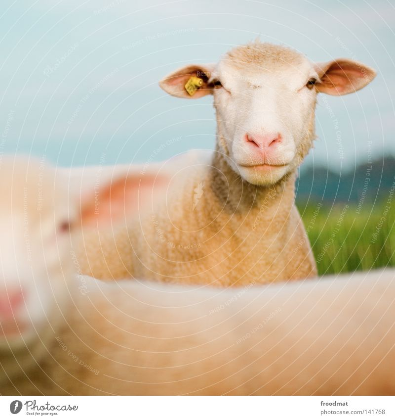 scha(r)f Sheep Animal Wool Hair and hairstyles Funny Blur Square Agriculture Meadow Lawnmower Pet Farm animal Robust Modest Adaptable Label Summer Mammal
