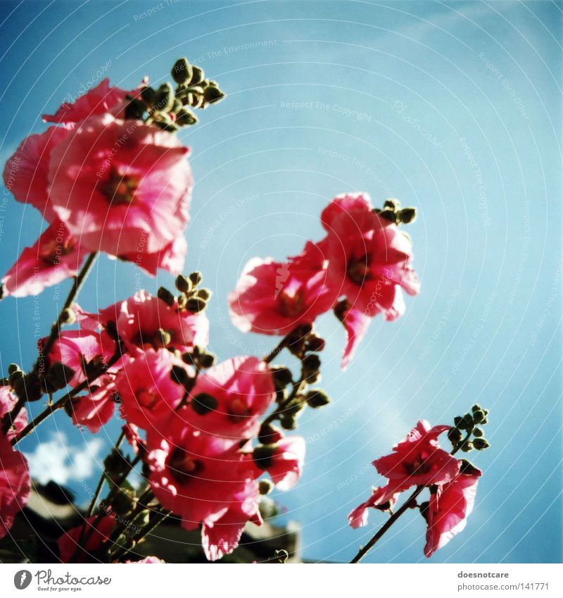 anything. Plant Sky Flower Blossom Pink Hollyhock Medium format Analog Roll film Althaea rosea Nature Blue Beautiful weather Summer Colour photo Multicoloured