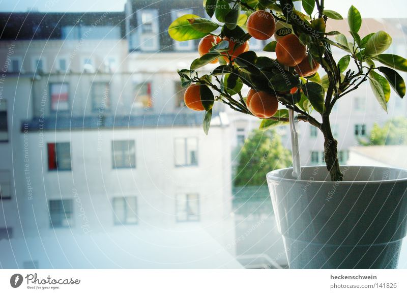 dreaming tree Fruit Orange Pot Freedom Flat (apartment) House (Residential Structure) Decoration Plant Tree Window Roof Street Glass Dream Growth Hope Longing