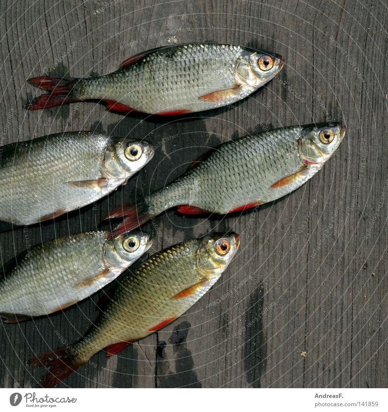 Death Wood Fish Group of animals Footbridge Fishery Fish eyes Spoon bait Slimy Carp Fish market Gill Goggle eyes Fishy Dead animal Roach