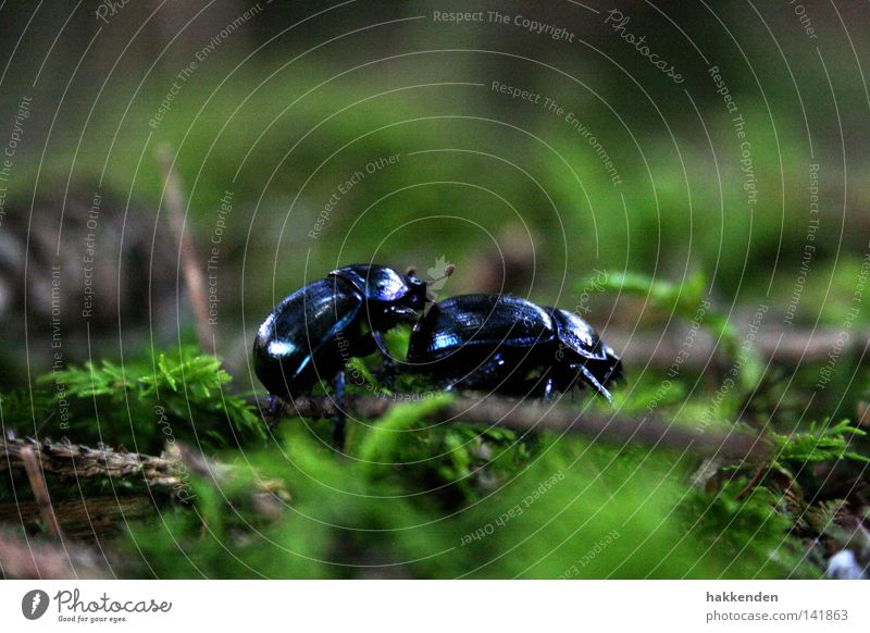 Dung beetle in the mating season Nature Insect Beetle Crawl Ground Europe Rutting season Animal Exterior shot dung beetle Anoplotrupes stercorosus anoplotrupes