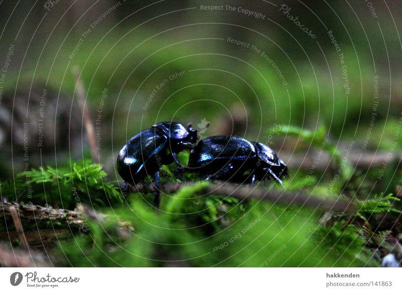 Nature Animal Europe Ground Insect Beetle Crawl Rutting season