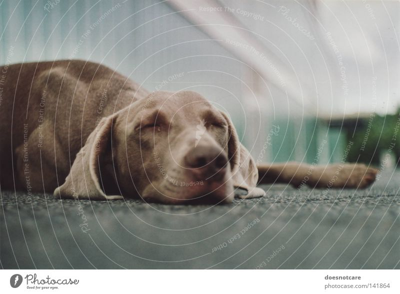 A dog that lies down wherever it wants. Animal Dog Lie Sleep Cute Boredom Fatigue Weimaraner Snout Analog Hound Mammal tia Break Relaxation Colour photo