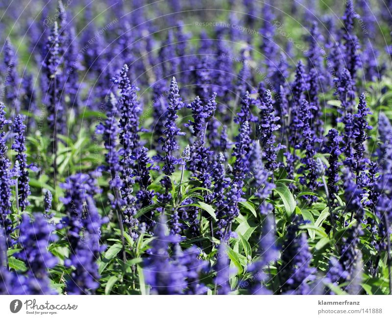 fragrances Blossom Fragrance Flower Odor Macro (Extreme close-up) Violet Middle Plant Growth Life Close-up right in the middle