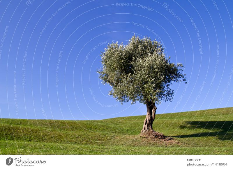 Beautiful lonely tree on the hill under a clear blue sky Relaxation Calm Garden Environment Nature Landscape Plant Cloudless sky Sunlight Spring Summer