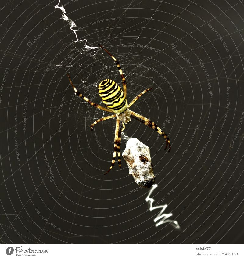 Successful Animal Spider Black-and-yellow argiope 1 Observe To feed Hunting Fight Esthetic Exceptional Threat Exotic Smart Beautiful Yellow Attentive
