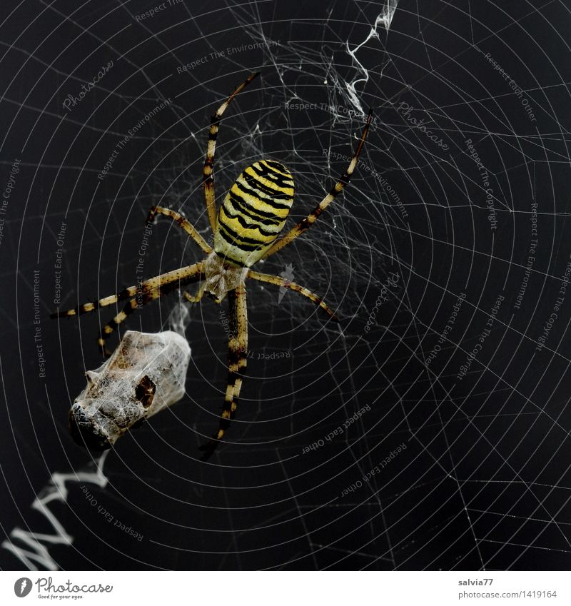 packaging paranoia Environment Nature Plant Animal Spider Black-and-yellow argiope 1 Touch Catch To feed Hang Crawl Wait Aggression Threat Dark Success