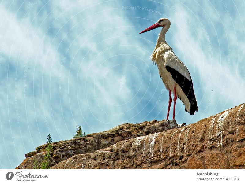 majesty Nature Animal Sky Clouds Weather Beautiful weather Plant Rabat Morocco Wall (barrier) Wall (building) Wild animal Bird Animal face Wing Stork 1 Stone