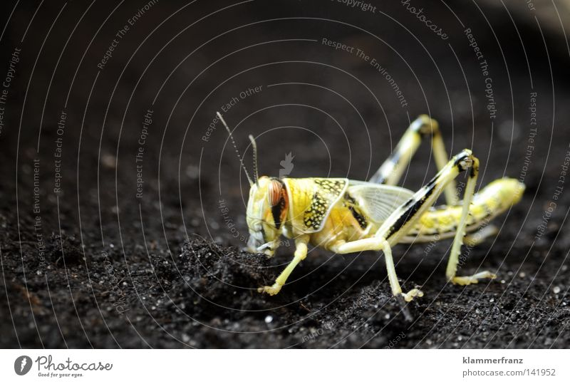 Yellow Earth Floor covering Insect Household Locust